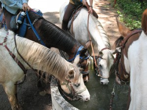 Fun ride - horses drinking